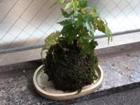 お客様に差し上げる為に制作したモミジの苔玉