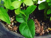 すくすく成長しているレモンの新芽