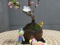 亀有の桜が開花!