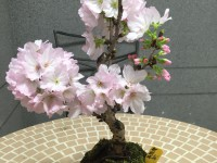 桜満開です